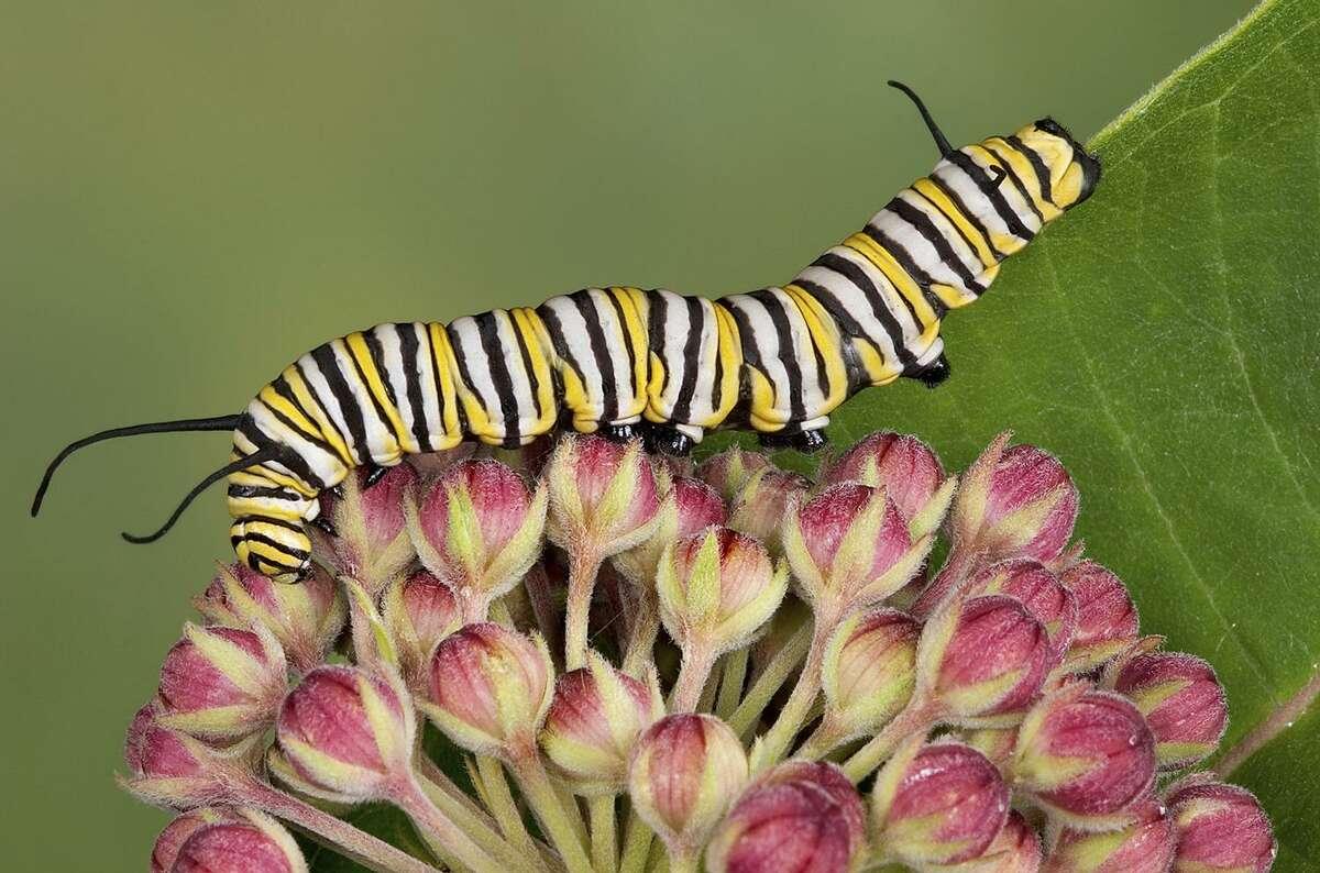 A monarch caterpillar on milkweed buds.