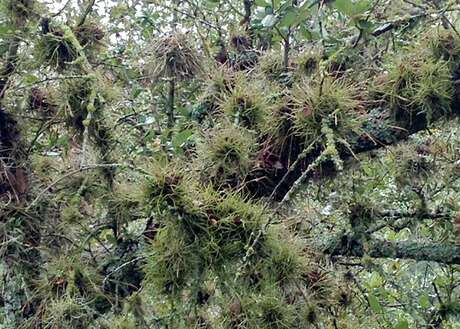 The shade caused by this heavy infestation of ball moss can cause problems for the tree.