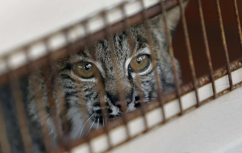 Bobcat #1722 is set to be released back into the wild along Nicasio Valley Road in Nicasio, California, on Thursday December 29, 2016. Wildcare took in the injured animal after it was hit by a car last month and brought it back to health. Photo: Michael Macor, The Chronicle