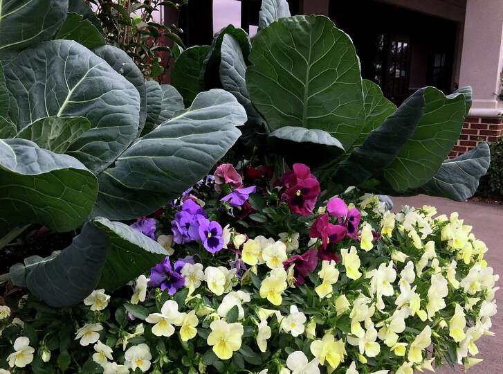 Brassicas rule in cool-season flower beds and containers. Here, collards serve as the perfect backdrop for colorful pansies.