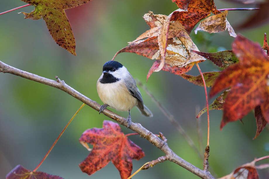 Watching birds can be as simple as noticing a Carolina chickadee in the backyard.  Photo: Kathy Adams Clark / Kathy Adams Clark/KAC Productions