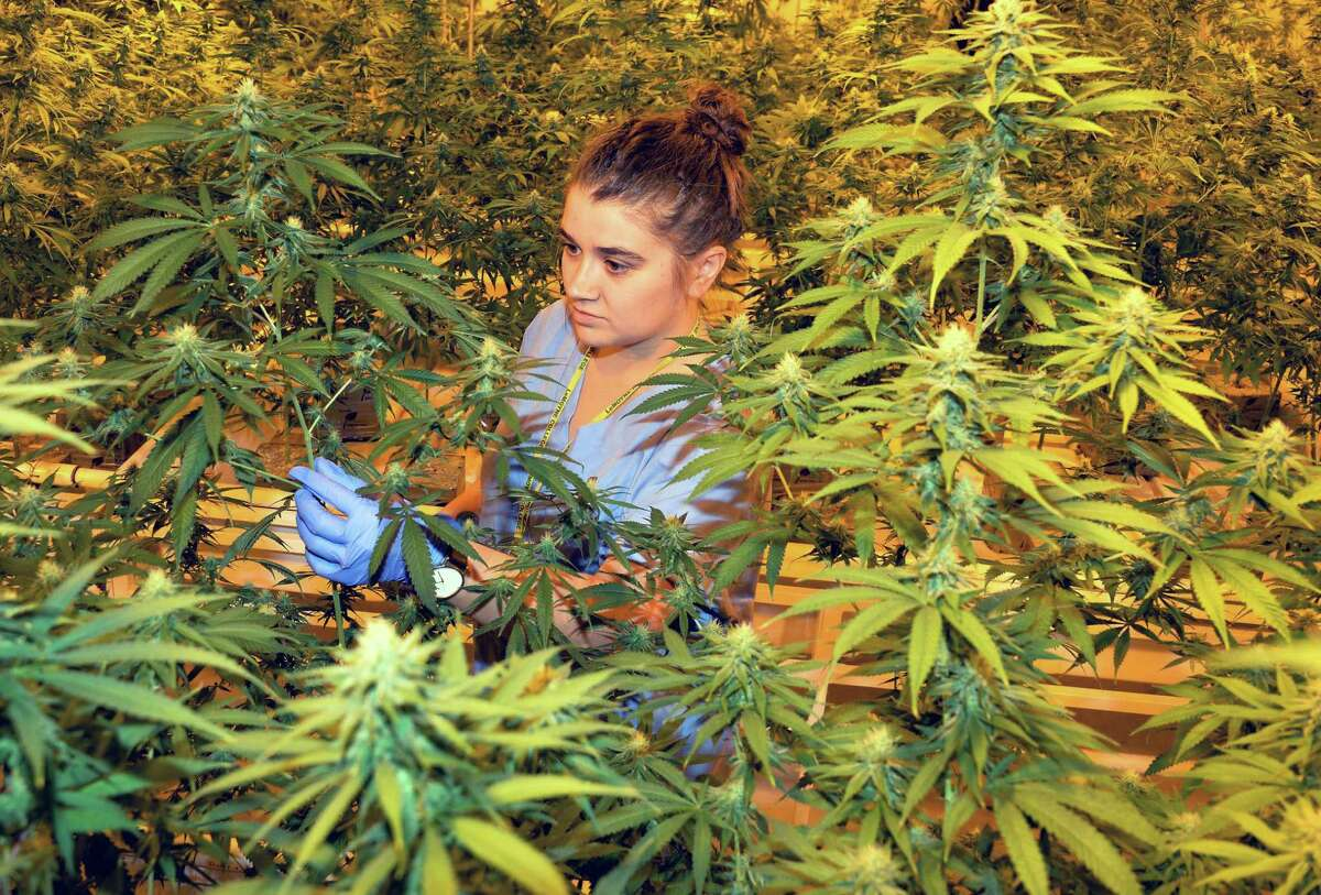 FILE - In this Nov. 12, 2015, file photo, assistant cultivator Emily Errico examines cannabis plants grown by Vireo Health of New York at Tryon Technology Park and Incubator Center in Perth, N.Y. New York is loosening restrictions in its nearly year-old medical marijuana law, but to the dismay of some pot advocates, there is no sign the state is in any hurry to join eight other states in embracing full legalization. (John Carl D'Annibale/The Albany Times Union via AP, File) ORG XMIT: NYALT203
