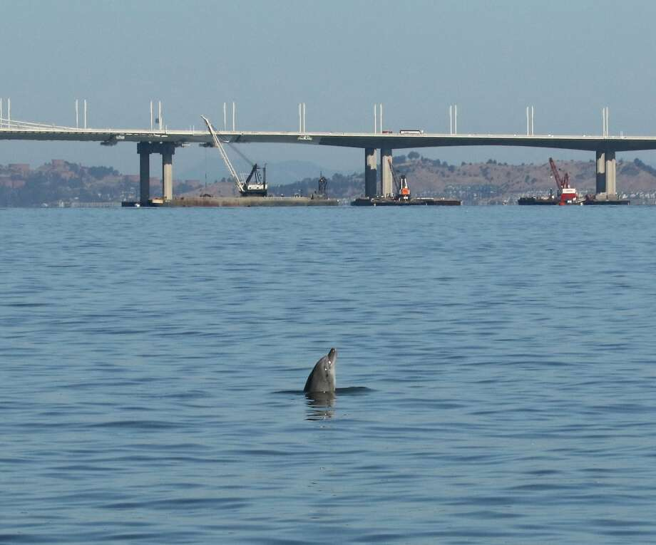 Kaimi, a bottlenose dolphin who has taken up residence in S.F. Bay, is a favorite of a canoe club's members who often visit the marine mammal as she hangs out around a buoy off the old Alameda Naval Air Station. Photo: Bill Keener, Golden Gate Cetacean Research