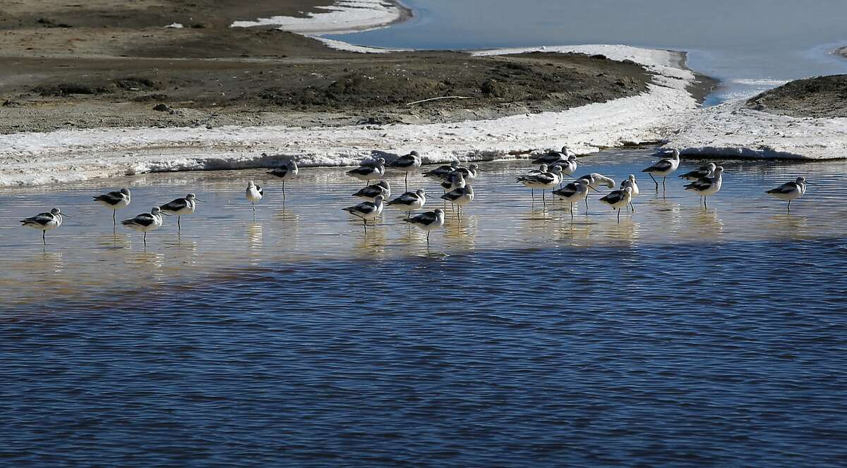 Shorebirds along the edge of the South Bay Salt Ponds restoration project at Bayfront Park in Menlo Park, California, seen on Wednesday October 19, 2016.