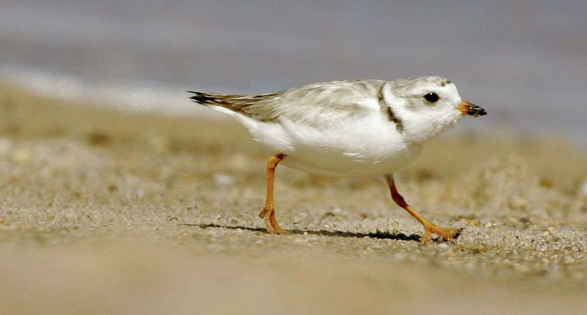 In this file photo, an adult piping plover runs along a beach as waves lap on the shore in the background, in the Quonochontaug Conservation Area, in Westerly, Rhode Island. Experts say that scores of the birds may have perished in Hurricane Matthew in October. (AP Photo/Steven Senne/FILE)