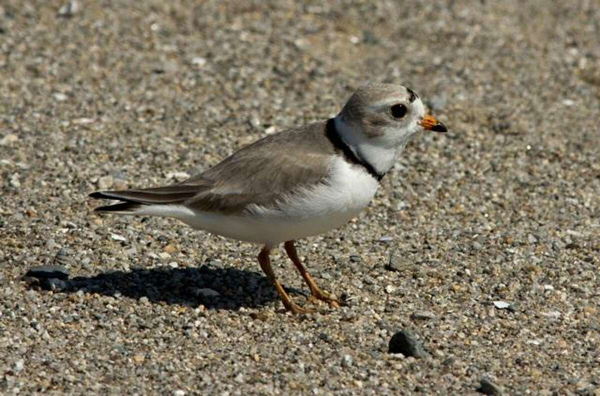 The piping plover chicks have to find food on their own. They get little help from their parents.