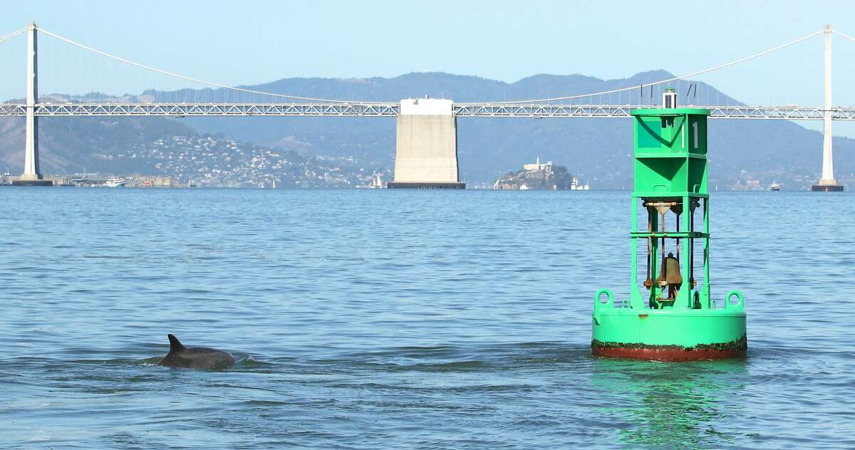 Kaimi, a bottlenose dolphin that has taken up residence in San Francisco Bay, is seen here on Oct. 1, 2016.