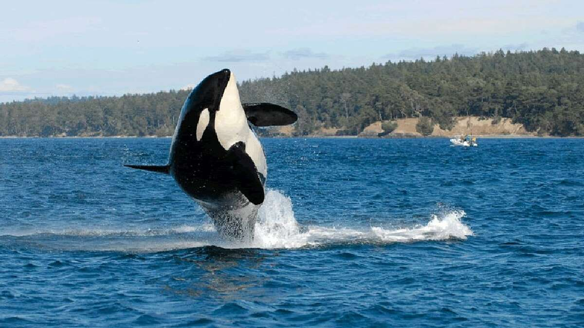 If you want to listen to orcas but don't want to head to the water, Orcasound has the livestream for you. Keep clicking to learn more about Orcasound...