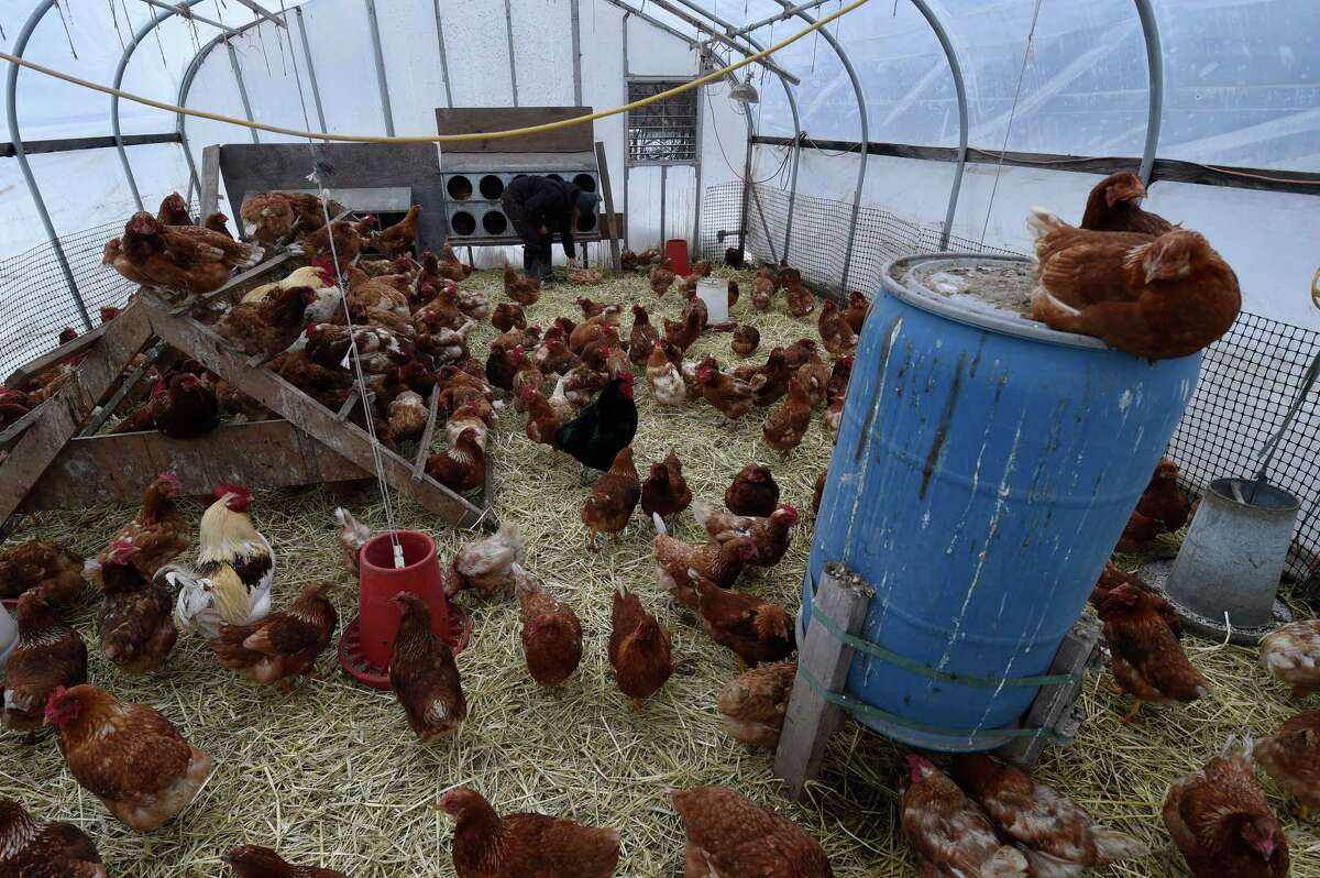 A large chicken house at the Laughing Earth Farm on Monday Jan. 2, 2017, in Brunswick, N.Y. (Skip Dickstein/Times Union)