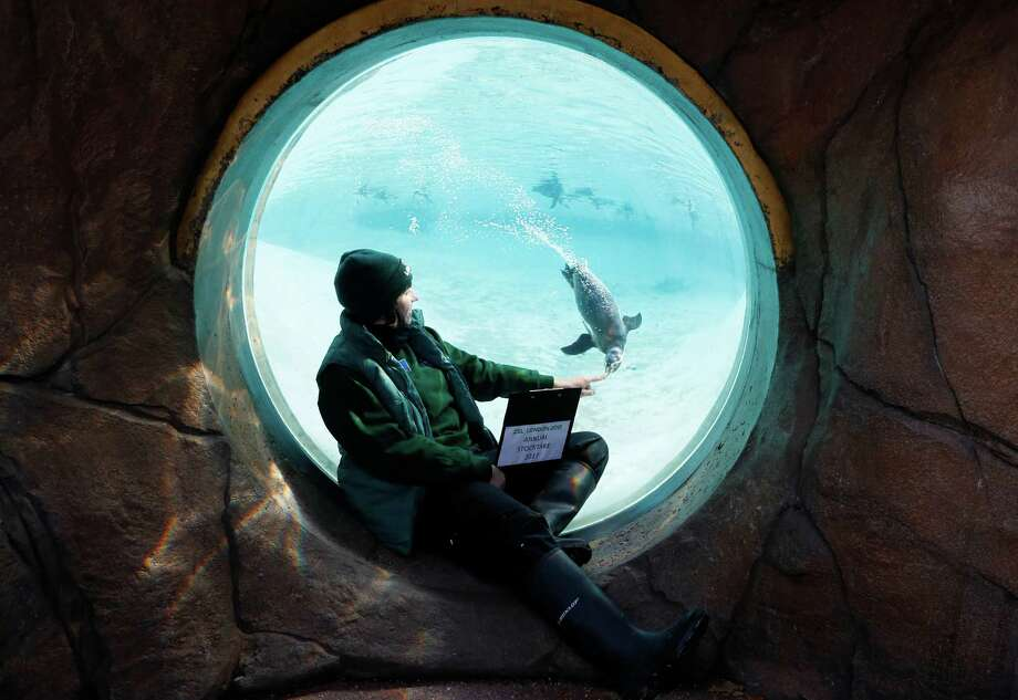 A keeper counts the Humboldt penguins during a photo call for the annual stock take at London Zoo in London, Tuesday, Jan. 3, 2017. Caring for more than 750 different species, ZSL London Zoo's keepers face the challenging task of tallying up every mammal, bird, reptile, fish and invertebrate at the Zoo. (AP Photo/Kirsty Wigglesworth) Photo: Kirsty Wigglesworth, Associated Press / Copyright 2017 The Associated Press. All rights reserved.
