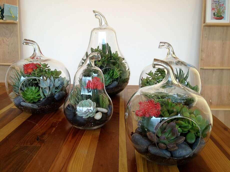 Dry terrariums using succulents designed by Vernon Caldera. Photo: Vernon Caldera