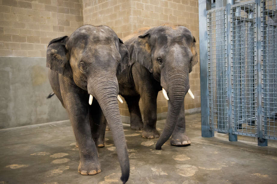 On Monday three of the Houston Zoo's male elephants, Thailand (Thai), Tucker and Baylor, took up residence in the newest addition at the Houston Zoo, a 6,500-square-foot barn custom-built to house the bull elephants. Photo: Stephanie Adams/Houston Zoo