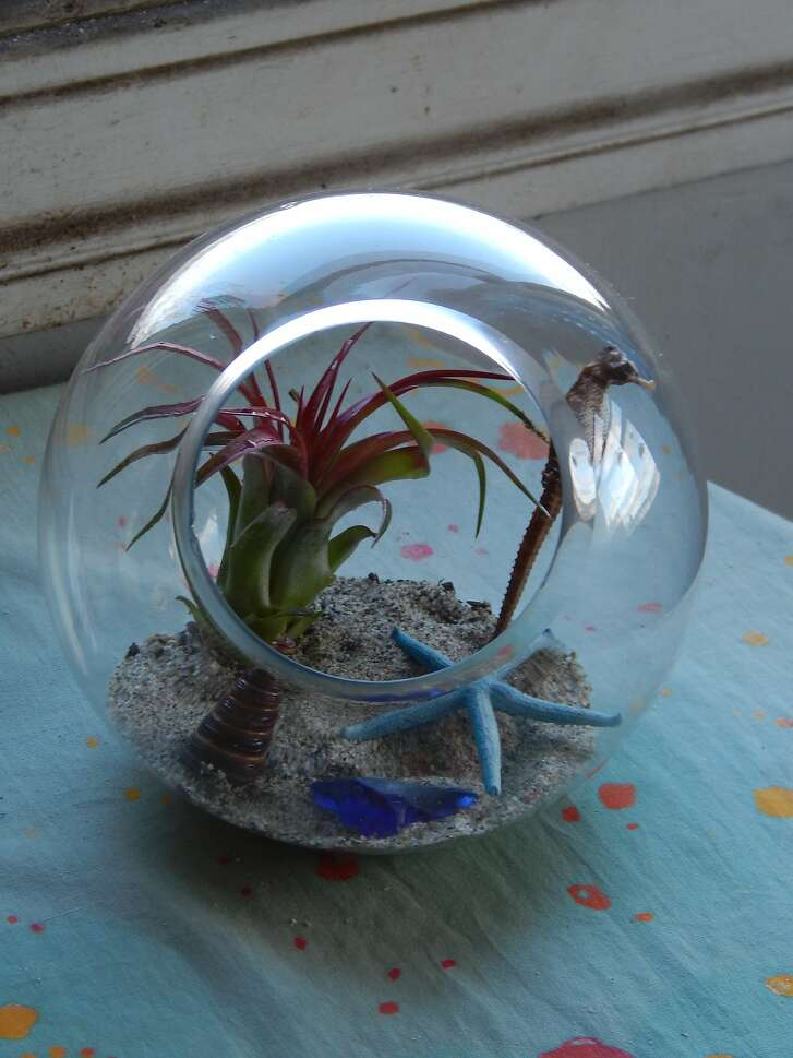 Six-inch round terrarium has a beach theme with an upright red tillandsia meant to simulate a squid; a dried seahorse (real) in the back right; a brightly colored sea star in the middle; and finally a conical shell and piece of colored glass in the front.  Credit: Earl Nickel