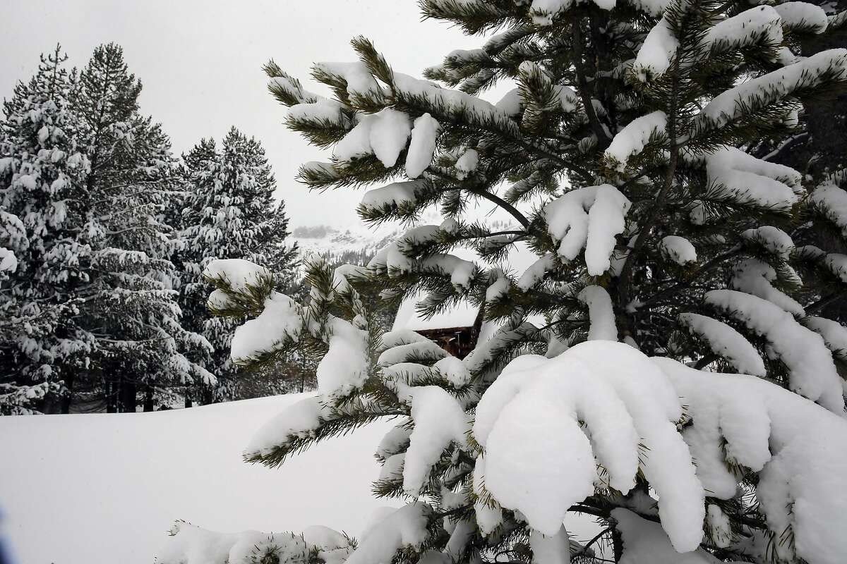 A snow covered pine trees in the Sierras seen at Phillip Station, California, on Tuesday January 3, 2017.