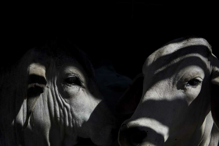Brahman cattle lay down together in a barn. Although cattle prices may have dropped 40 percent over 2016, consumers haven't seen that kind of price drop as retailers remain in holdout mode and market forces such as competition with other proteins and global demand remain volatile. Photo: San Antonio Express-News /File Photo / 2015 San Antonio Express-News