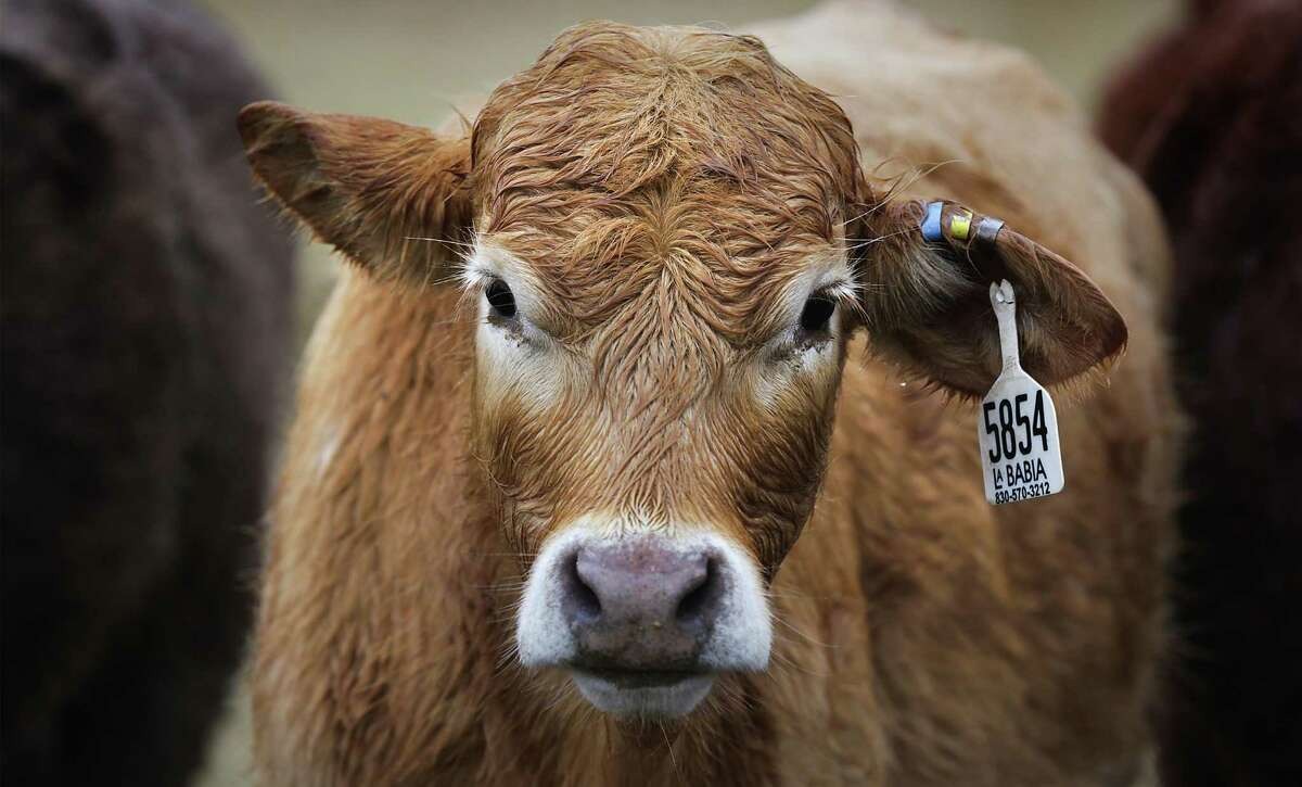 Cattle prices are down; beef prices not so much
