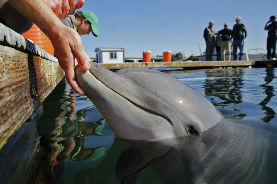 A bottlenose dolphin reacts to its U.S. Navy trainer in an open-air pen at the Mine and Santi-Submarine Warfare Center in San Diego in March 2015. Researchers hope to use the dolphins in locating -- and rescuing -- some of the few surviving vaquita porpoises in Mexico's Upper Gulf of California. (Don Bartletti/Los Angeles Times/TNS) Photo: Don Bartletti, FILE / TNS / Los Angeles Times