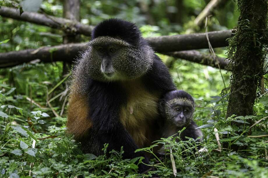 Golden monkeys are seen in Rwanda's Volcanoes National Park. Photo: Dana Allen / Special To The Chronicle