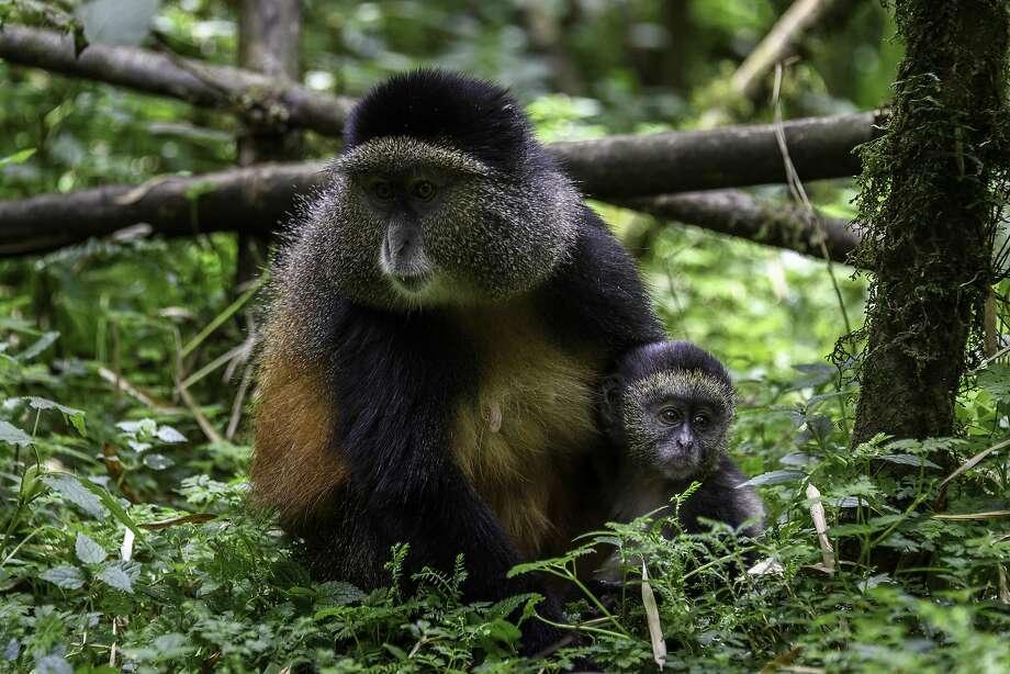 Golden monkeys are seen in Rwanda's Volcanoes National Park. Photo: Dana Allen / Special To The Chronicle