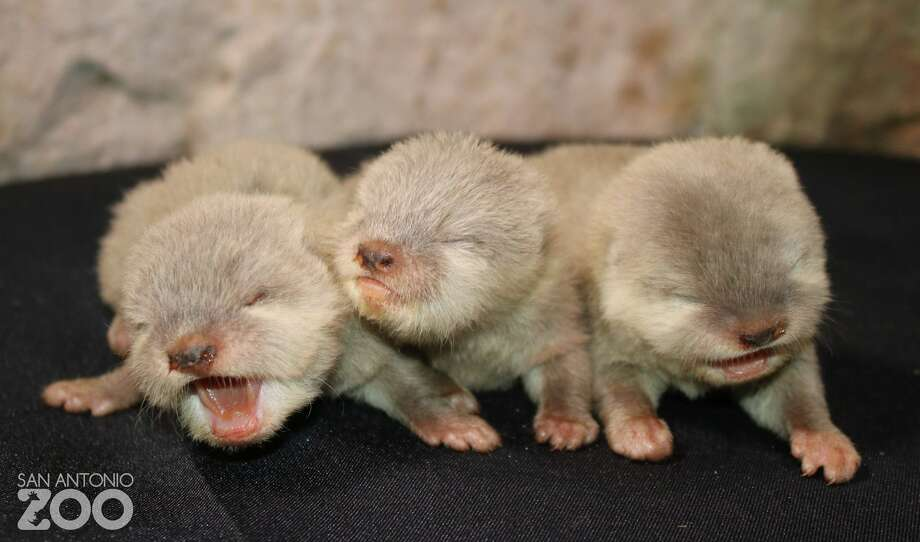 The San Antonio Zoo welcomed an adorable litter of otter pups recently. 