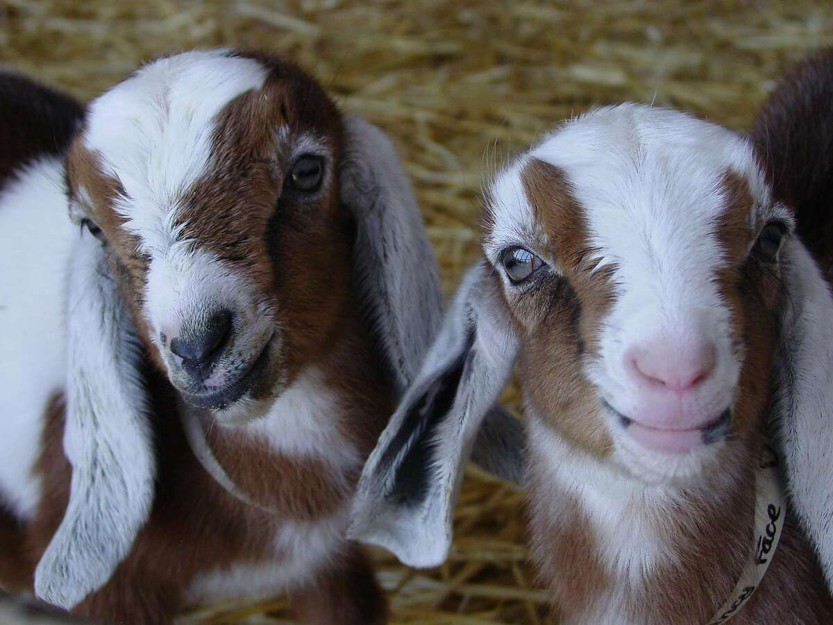 Goats from Redwood Hill Farm in Sebastopol, a woman-owned, family-operated, sustainably-farmed goat dairy.
