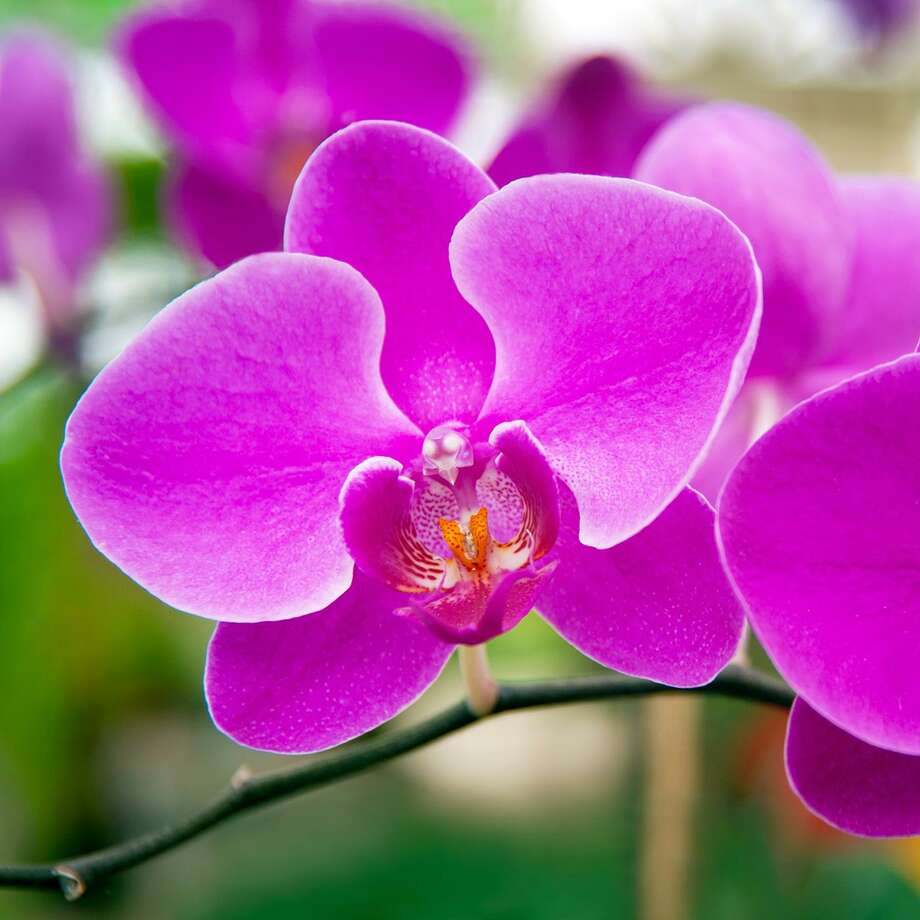 Moth orchids are among the easiest of all types of orchids to grow indoors. Photo: Courtesy Photo