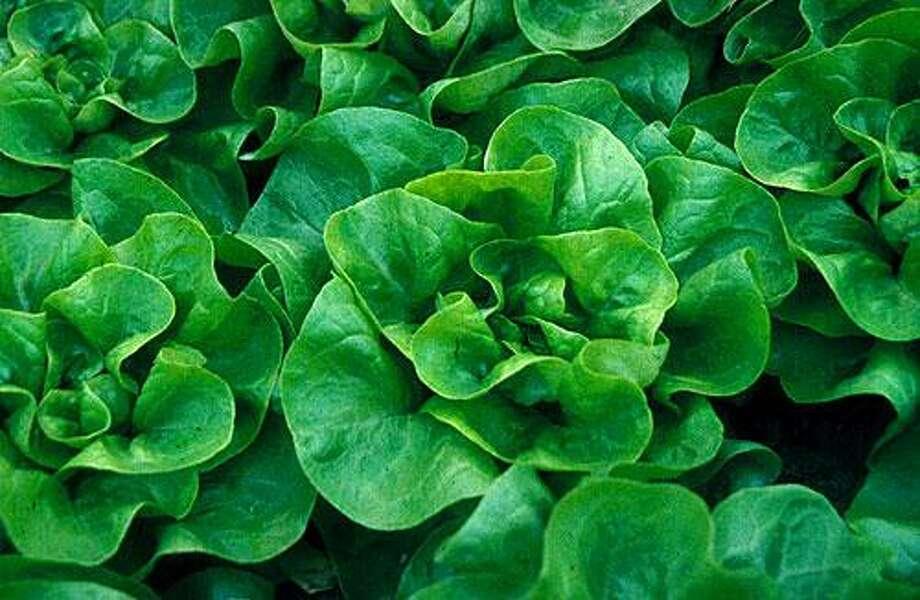 Leaf lettuce (Lactuca sativa) Photo: CORNELL UNIVERSITY