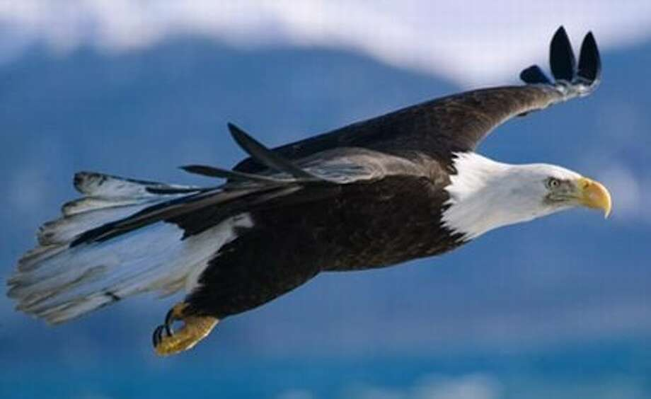An eagle in flight.