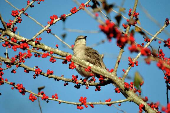 This mockingbird finds a tasty treat in this possumhaw holly.