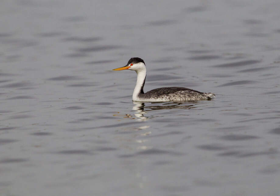 Balmorhea Lake in far west Texas is one of the best places in Texas to find Clark's grebe and the similar western grebe.  Photo credit:  Kathy Adams Clark   Restricted use. Photo: Kathy Adams Clark / Kathy Adams Clark/KAC Productions