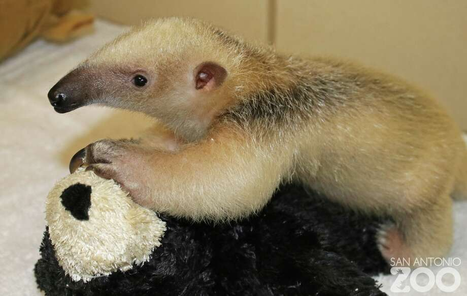 """A baby tamandua is the San Antonio Zoo's """"new arrival"""" who is """"melting hearts all over the place."""""""