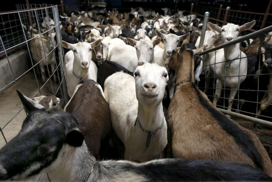 Dairy goats wait to be milked at the Bettencourt family farm in Oakdale, Calif. on Friday, Jan. 6, 2017. Milk from the Bettencourts' herd of 300 goats goes to Meyenberg Goat Milk, which was just acquired by Emmi, the Swiss dairy giant. Photo: Paul Chinn, The Chronicle