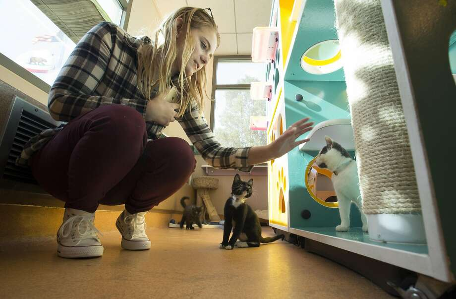 Emily Vickers of Concord meets some cats up for adoption at the Contra Costa County Animal Services shelter. Photo: D. ROSS CAMERON, Special To The Chronicle