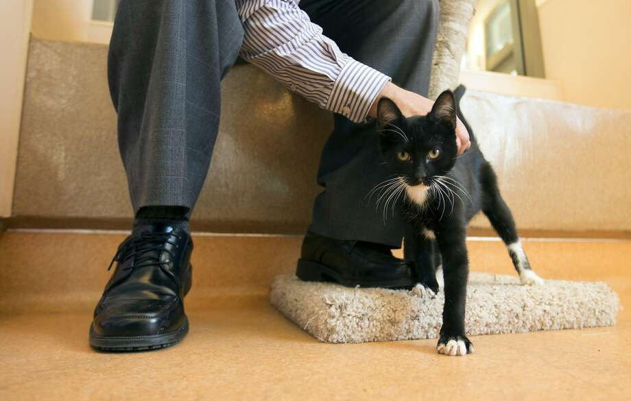 A potential companion pets a young cat up for adoption at the Contra Costa County Animal Services shelter in Martinez. Photo: D. ROSS CAMERON, Special To The Chronicle