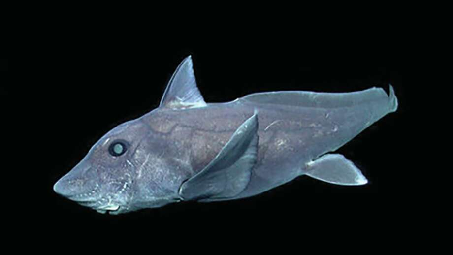 The deep-Pacific sightings of the ghost shark off California are believed to be the first in the Northern Hemisphere.