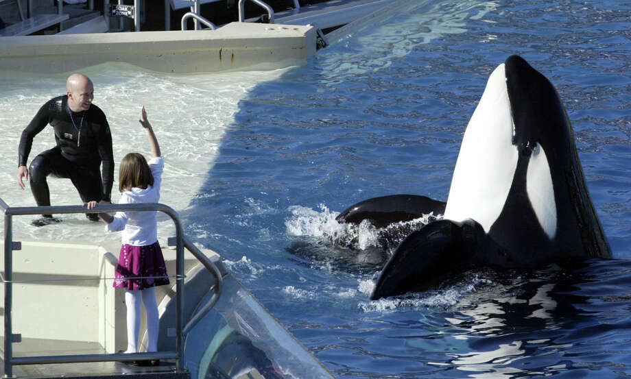 Sunday will mark the last performances of SeaWorld San Diego's theatrical orca show. This summer the park's 11 orcas, ranging in age from 2 to 52, will be featured in new educational programming. SeaWorld Parks in Orlando, Fla., and San Antonio will retire the controversial orca shows by 2019. Photo: Bizuayehu Tesfaye, STR / Copyright 2017 The Associated Press. All rights reserved.