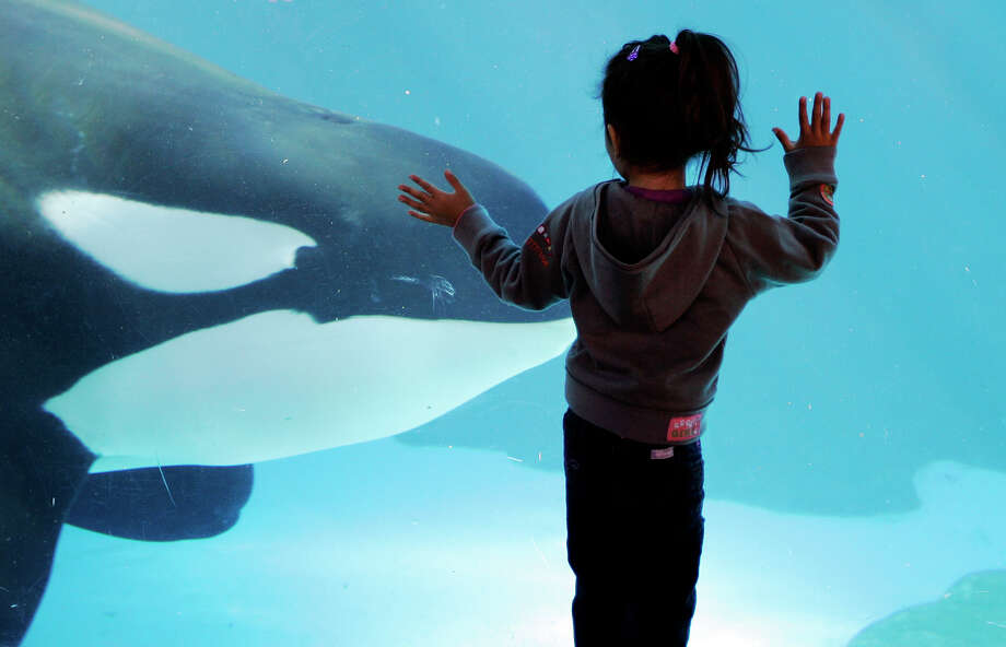 In this Nov. 30, 2006, a young girl watches through the glass as a killer whale passes by at SeaWorld in San Diego. Shares of SeaWorld, which have been cut in half since coming under scrutiny over the killer whales it holds in captivity, are up 12 percent before the opening bell after a big investment from China.  Photo: Chris Park / Copyright 2017 The Associated Press. All rights reserved.