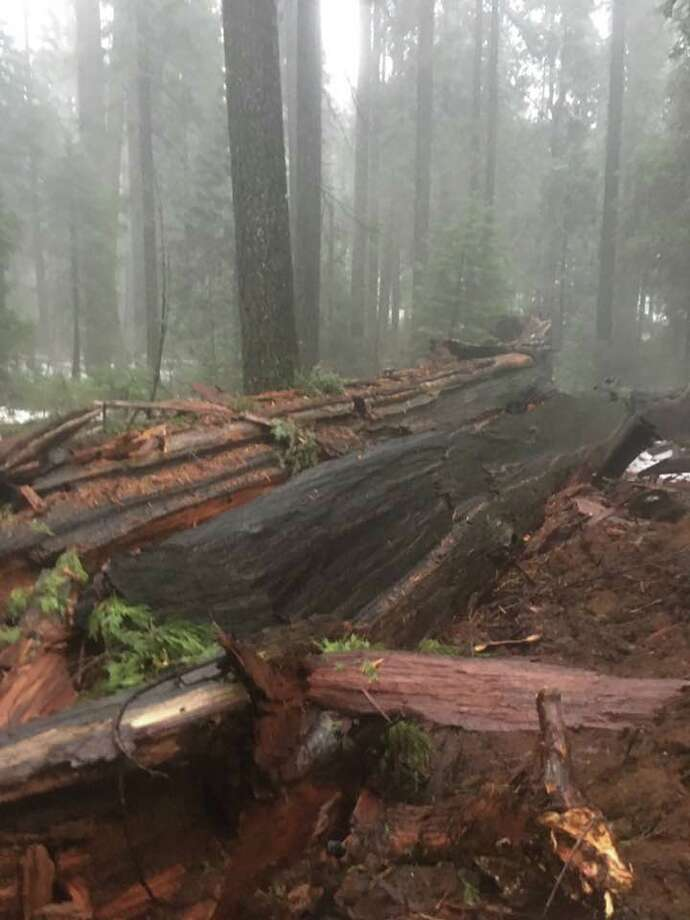 The historic Pioneer Cabin Tree, which was hollowed out in the 1800s to allow tourists to pass through, was toppled by California's weekend storms. These photos were taken Sunday, Jan. 8, 2017. Photo: Courtesy Jim Allday