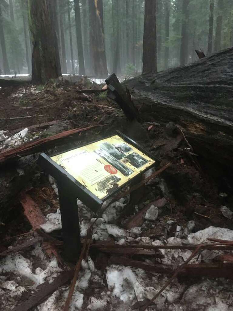 Historic pioneer cabin tree toppled in california storm sfgate the historic pioneer cabin tree which was hollowed out in the 1800s to allow tourists arubaitofo Gallery