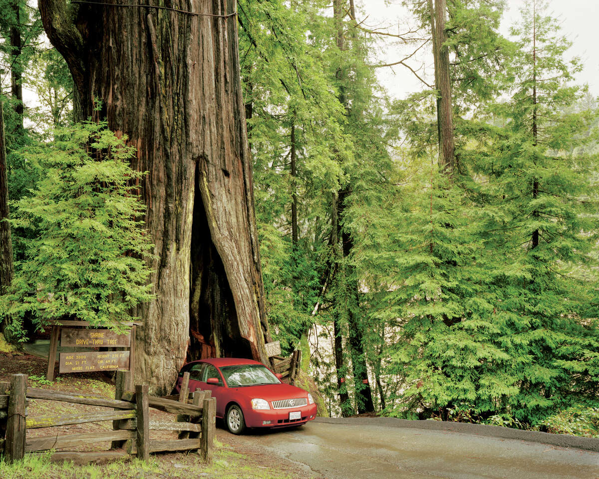 The Shrine Tree is located in Myers Flat, roughly 50 miles south of Eureka, California.