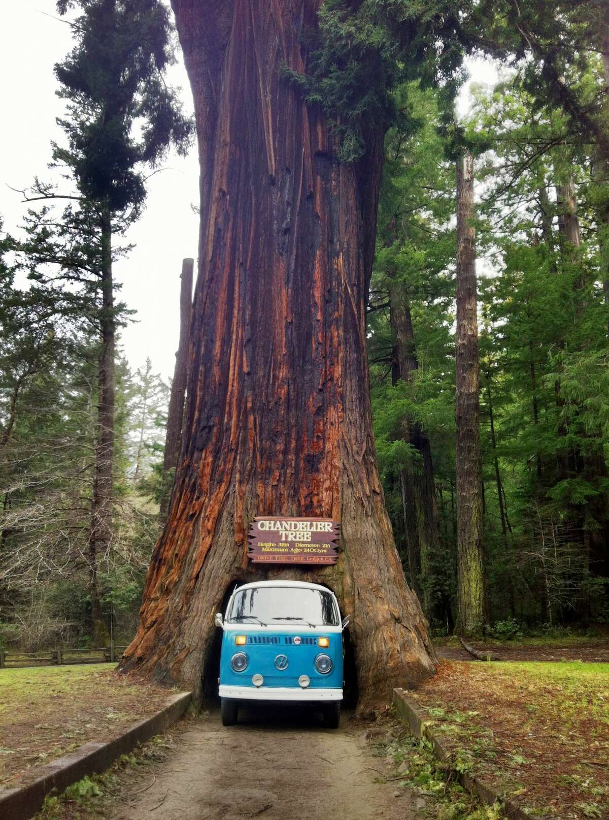 The Chandelier Tree is 100 miles south of Eureka in Leggett, California.