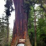 Historic Pioneer Cabin Tree toppled in California storm - SFGate
