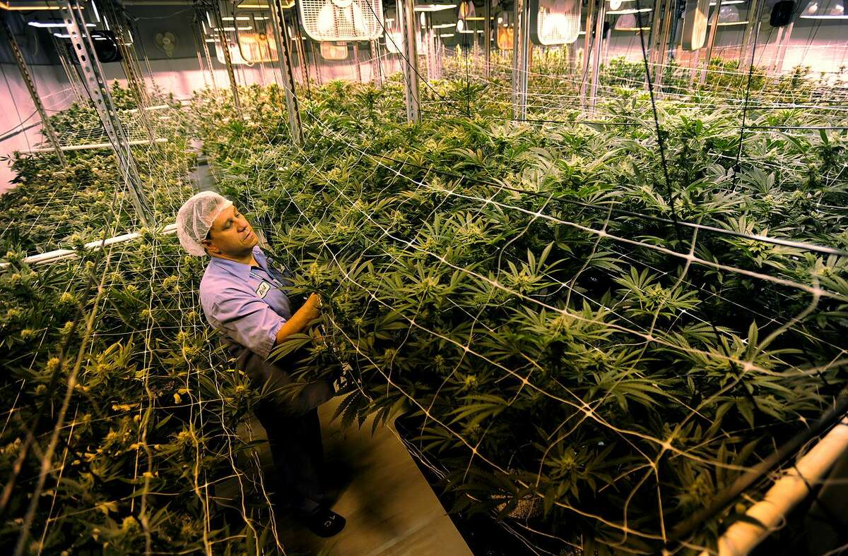 In a 2015 file photo, Managing Partner David Lipton in a large medical marijuana grow room at Advanced Grow Labs in West Haven, one of the state's four producers of medical marijuana.