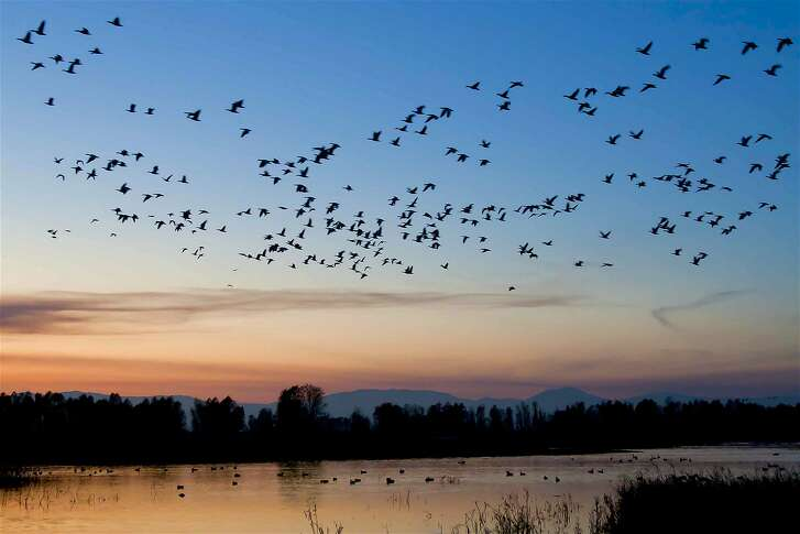The winter sky is cast with dusk light during a fly-over of ducks and geese at Colusa National Wildlife Refuge in the Sacramento Valley
