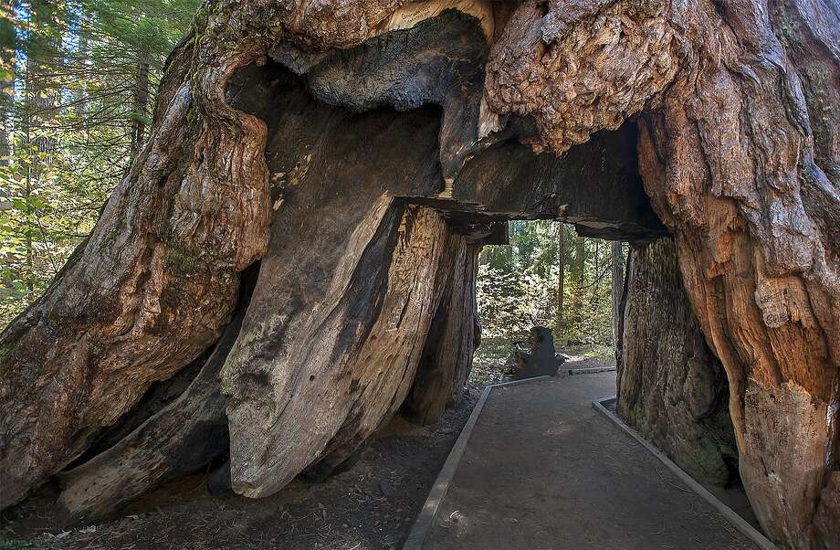 The Pioneer Cabin Tree, one of the park's icons. Photo: Alan Beymer
