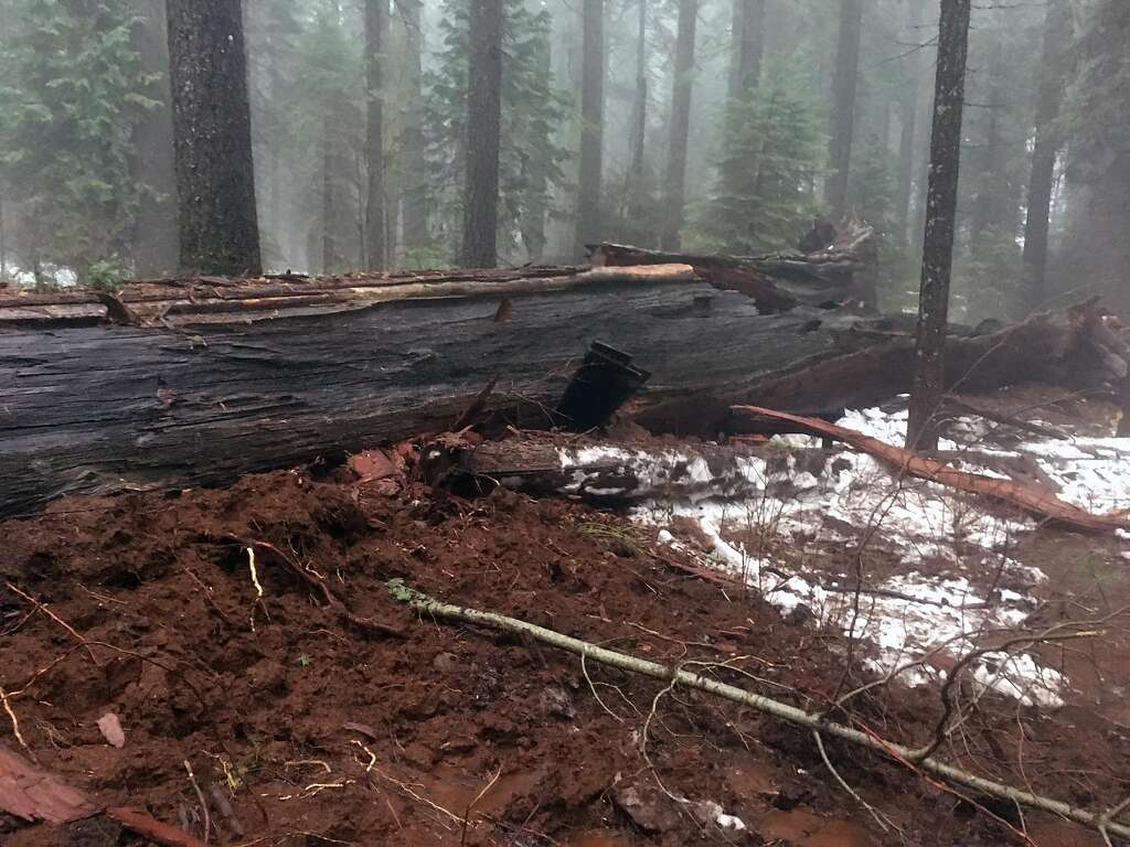 Sierra sequoias toppling one less tree to walk through san above the pioneer cabin tree sits on its side after the weekend storm brought the arubaitofo Images