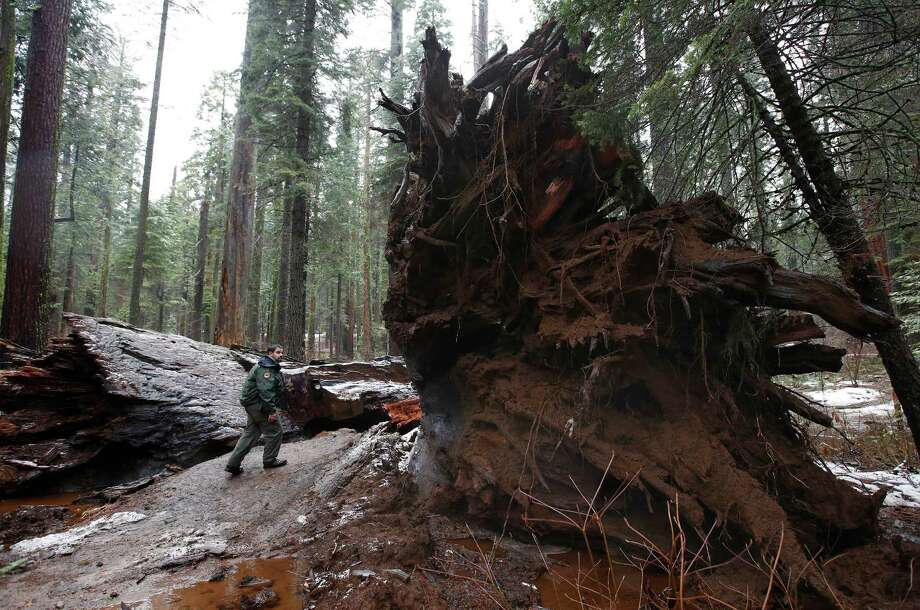 "California State Parks Supervising Ranger Tony Tealdi walks to the fallen Pioneer Cabin Tree at Calaveras Big Trees State Park, Monday, Jan. 9, 2017, in Arnold, Calif. Famous for a ""drive-thru"" hole carved into its trunk, the giant sequoia was toppled over by a massive storm Sunday. Photo: Rich Pedroncelli, AP / Copyright 2017 The Associated Press. All rights reserved."
