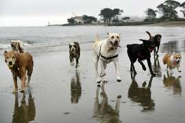 Dogs belonging to professional dog walkers Angela Gardner and Alison Tarnoff, runs along a section of East Beach that will be totally off limits for dogs when new Golden Gate National Recreation Area dog management plans go into effect next year, at Crissy Field in San Francisco, CA, on Thursday, December 8, 2016.