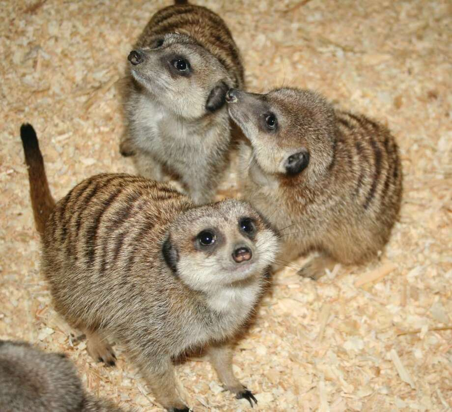 """Meerkats!"" opens Friday at the Maritime Aquairum at Norwalk. Photo: Contributed Photo / Stamford Advocate Contributed"