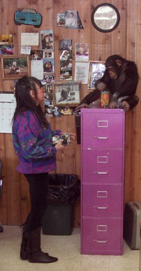 Sandra Herold is shown in this undated photo with her pet chimpanzee Travis in the office of her and her husband's business Desire Me Motors, in Stamford. Herold died on Monday. Paul Desmarais/Staff photo Photo: ST